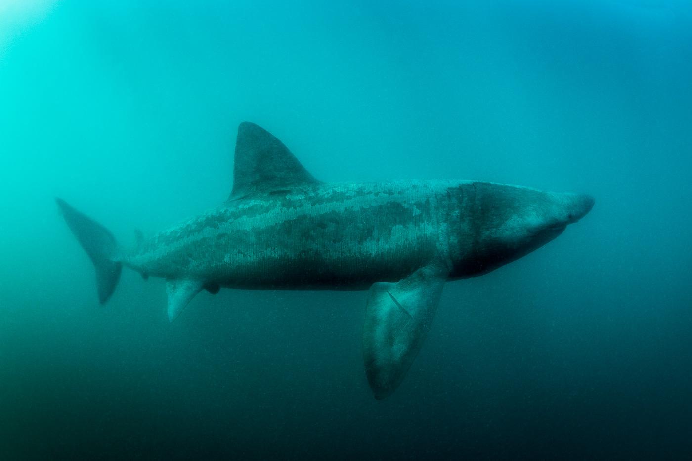 basking_shark_deep_underwater_ireland