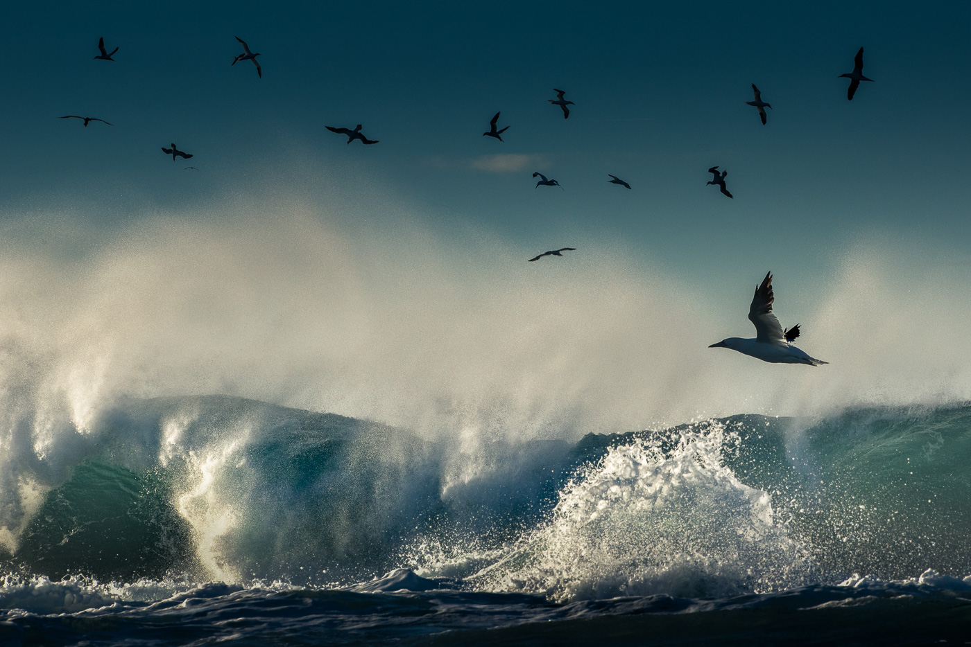 birds gannets wave