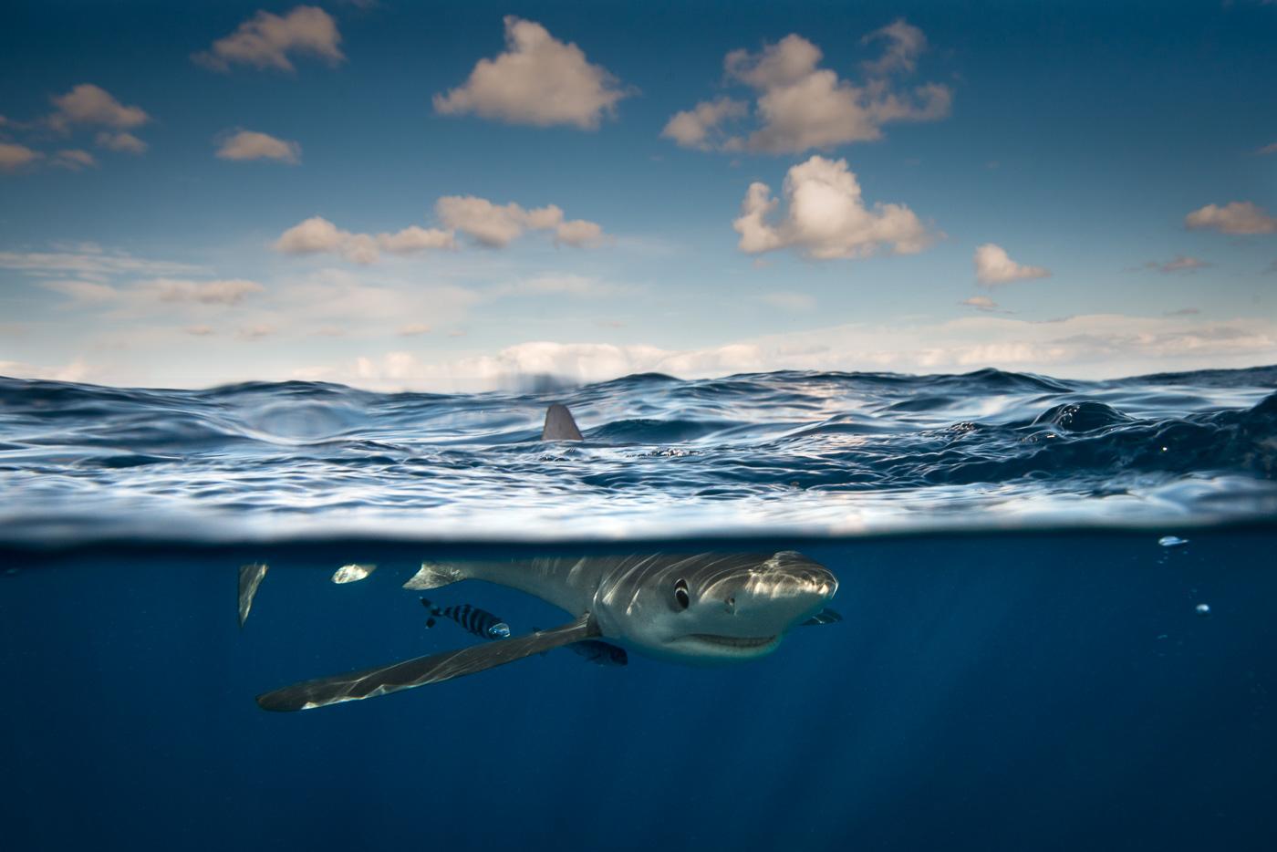 blue shark split shot