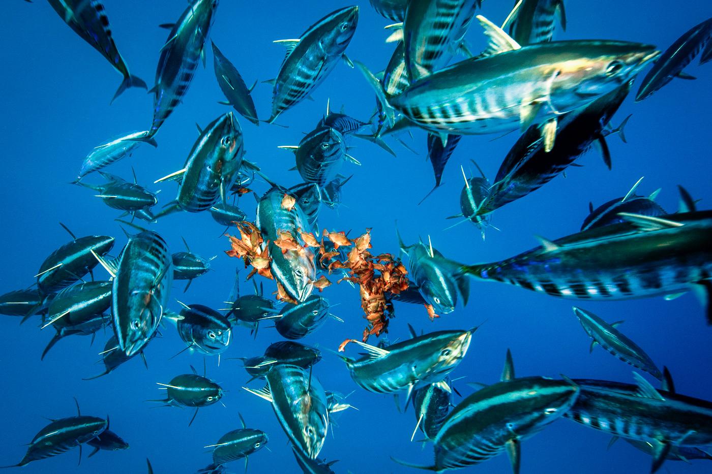 bonito tuna hunt for fish baitball azores