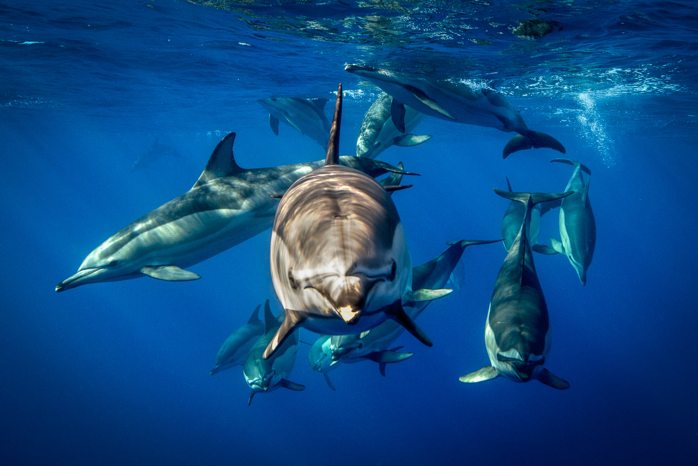 common dolphin looking to camera