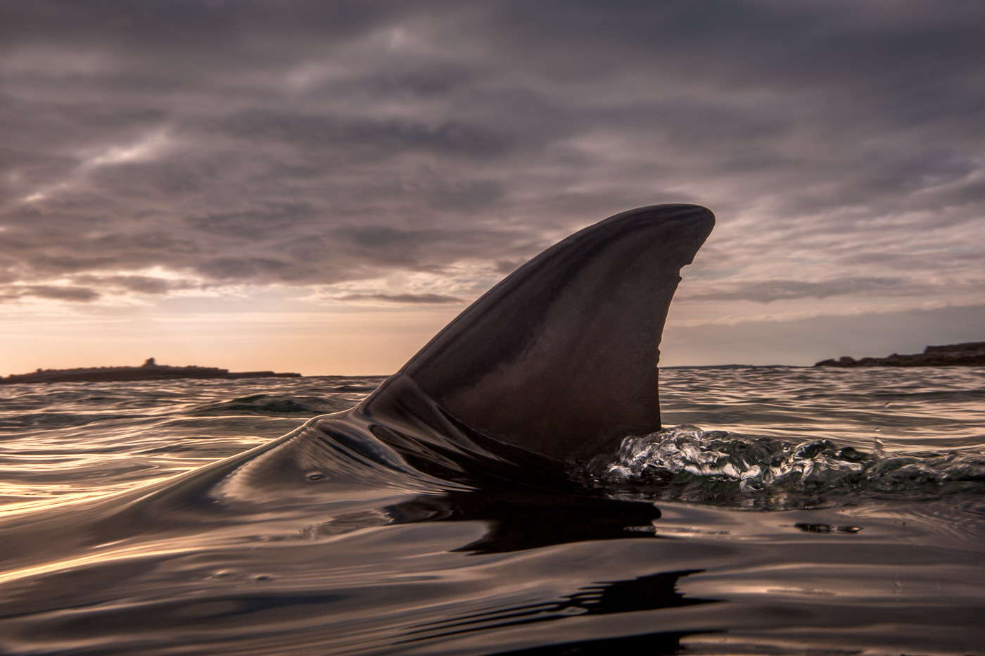 dolphin dorsal fin detail