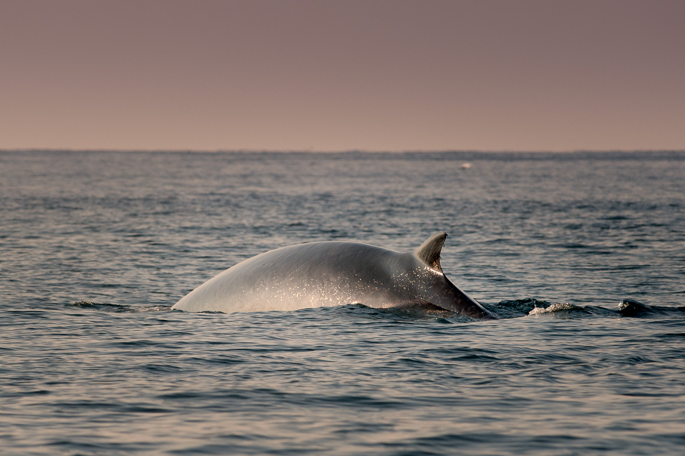 fin_whale_ireland