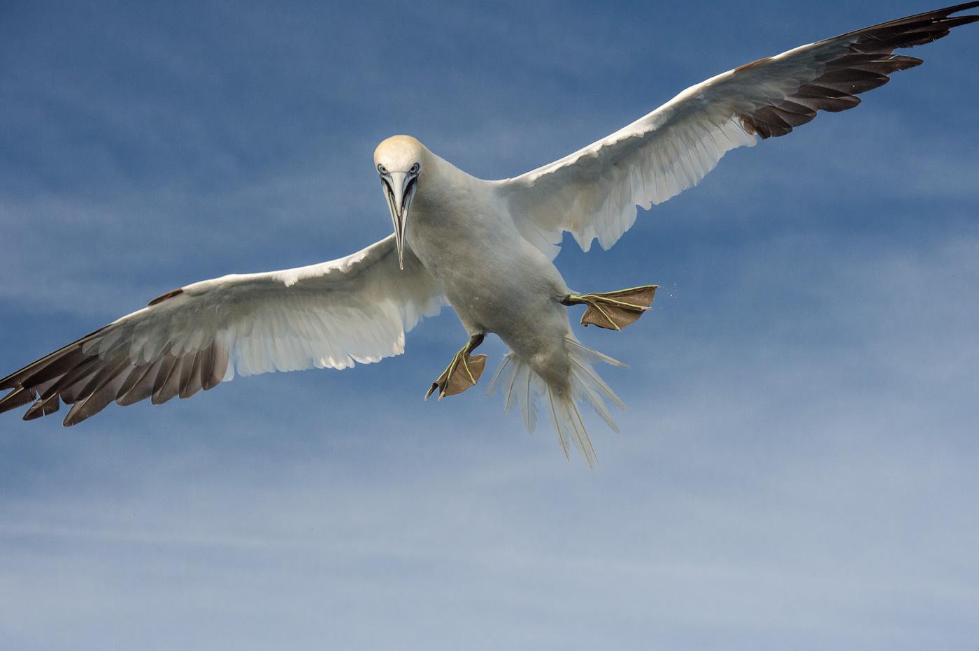 gannet fly skellig ireland