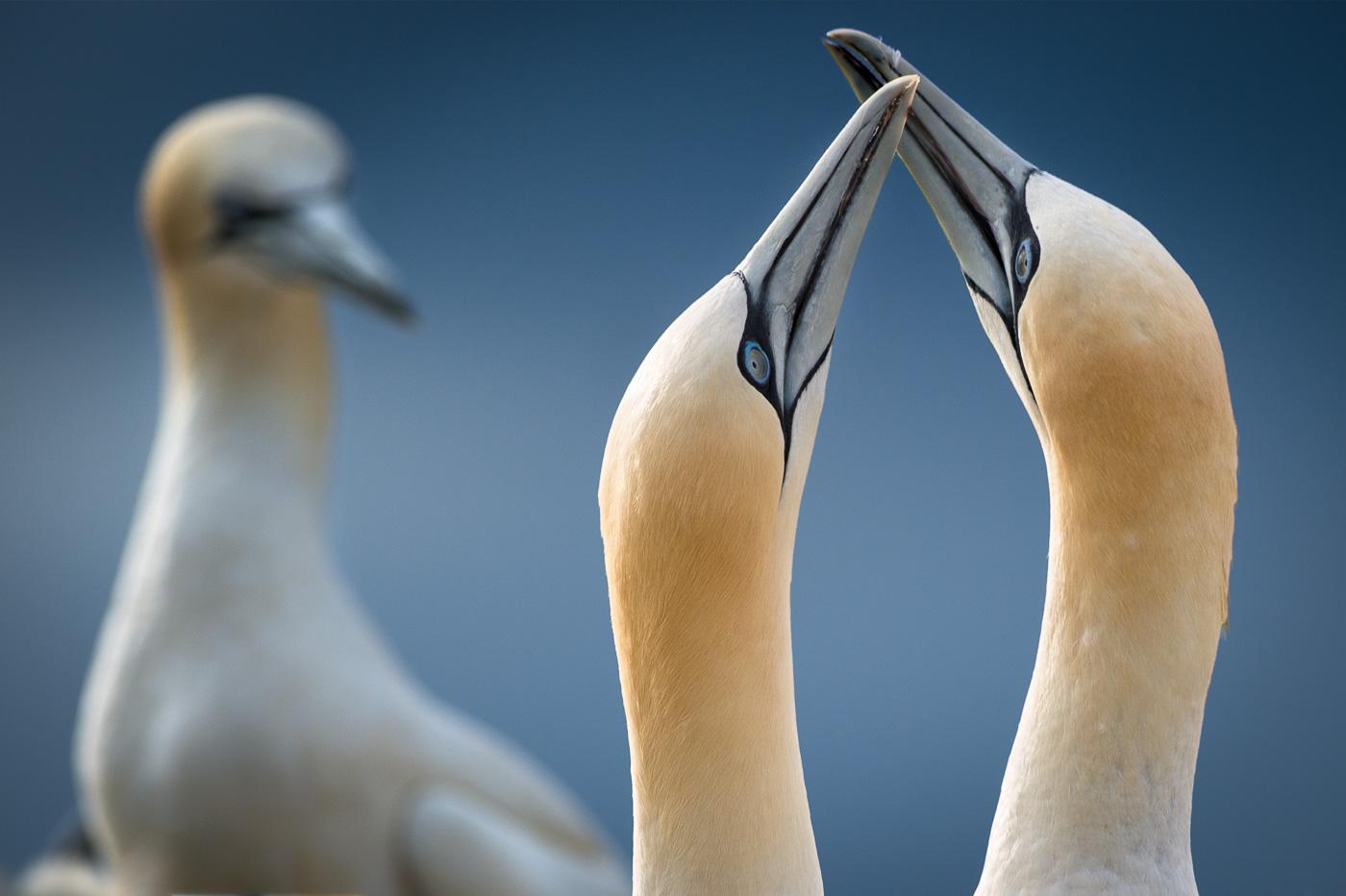 gannet greeting rituals saltees ireland