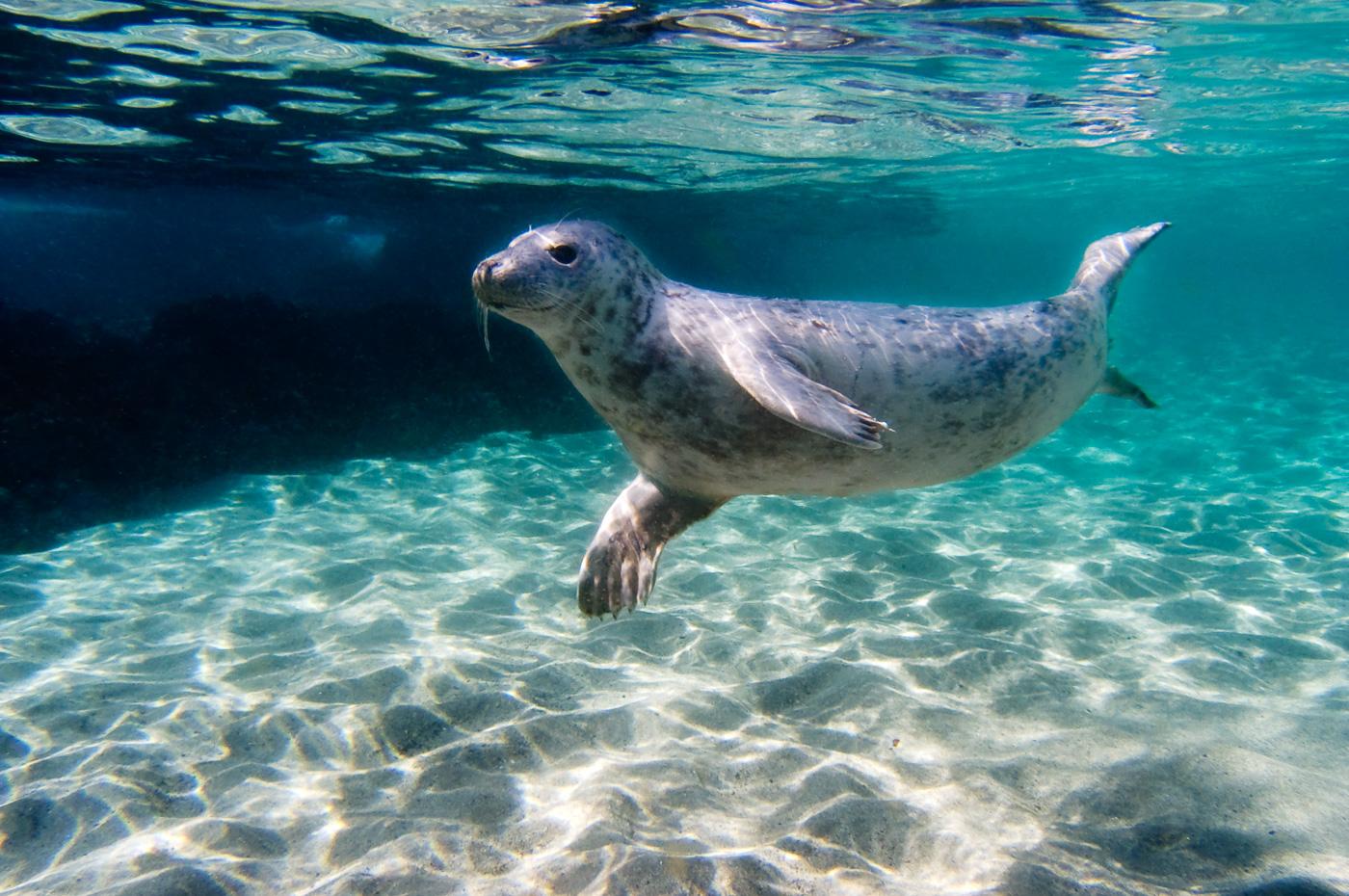grey_seal_ireland