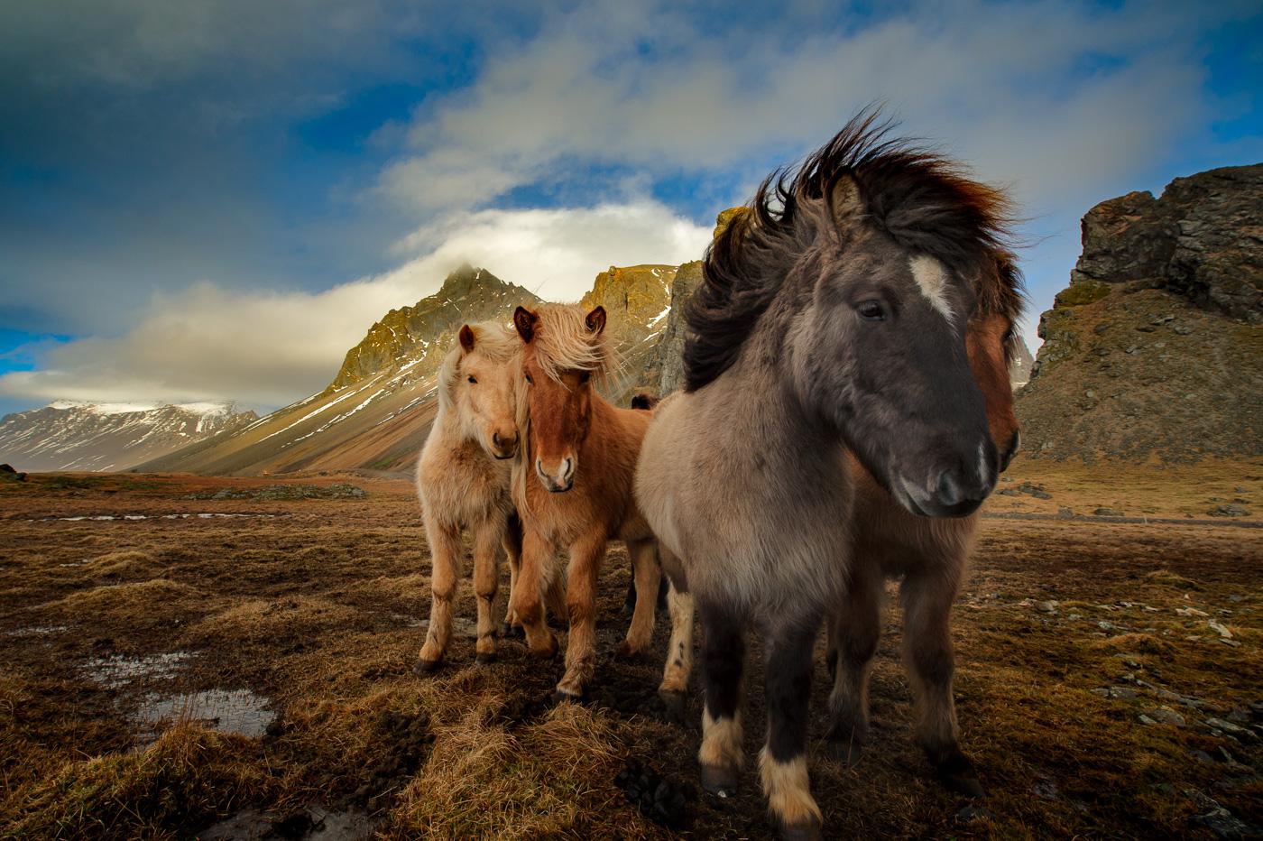pony iceland