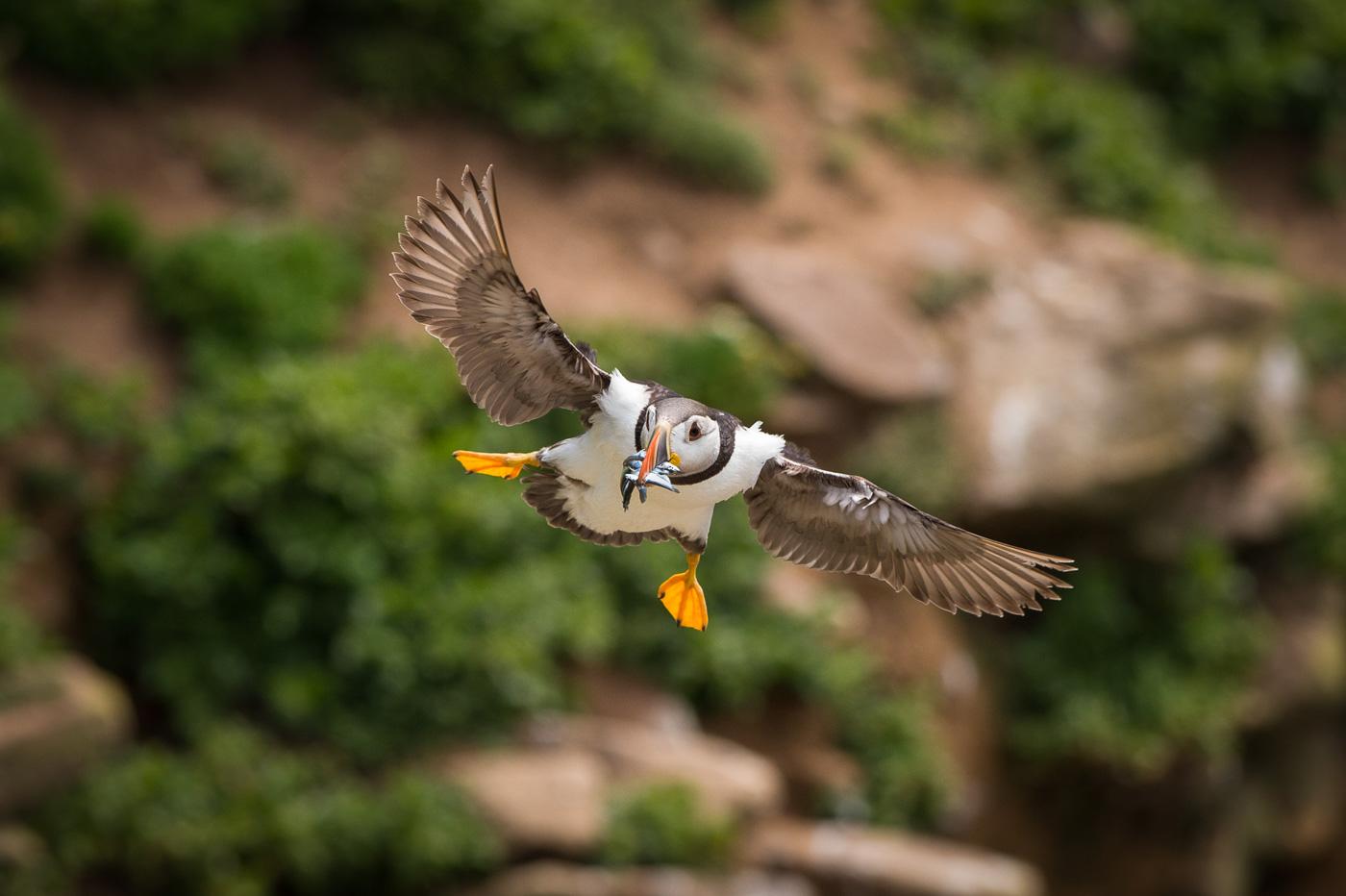 puffin fly wit sandeels fish saltee ireland