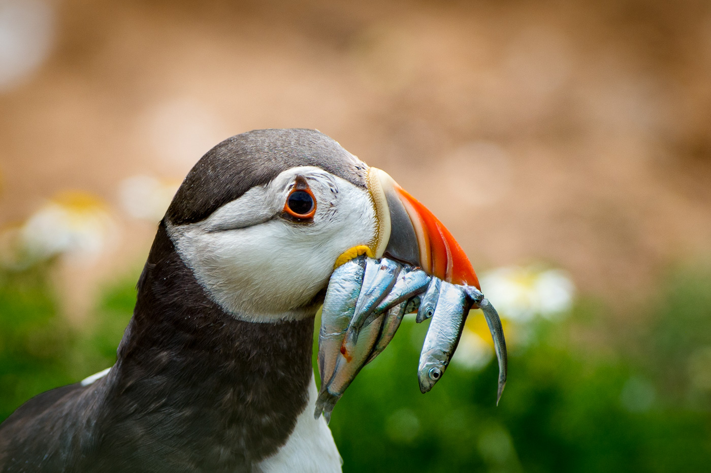 puffin with sandeels fish ireland