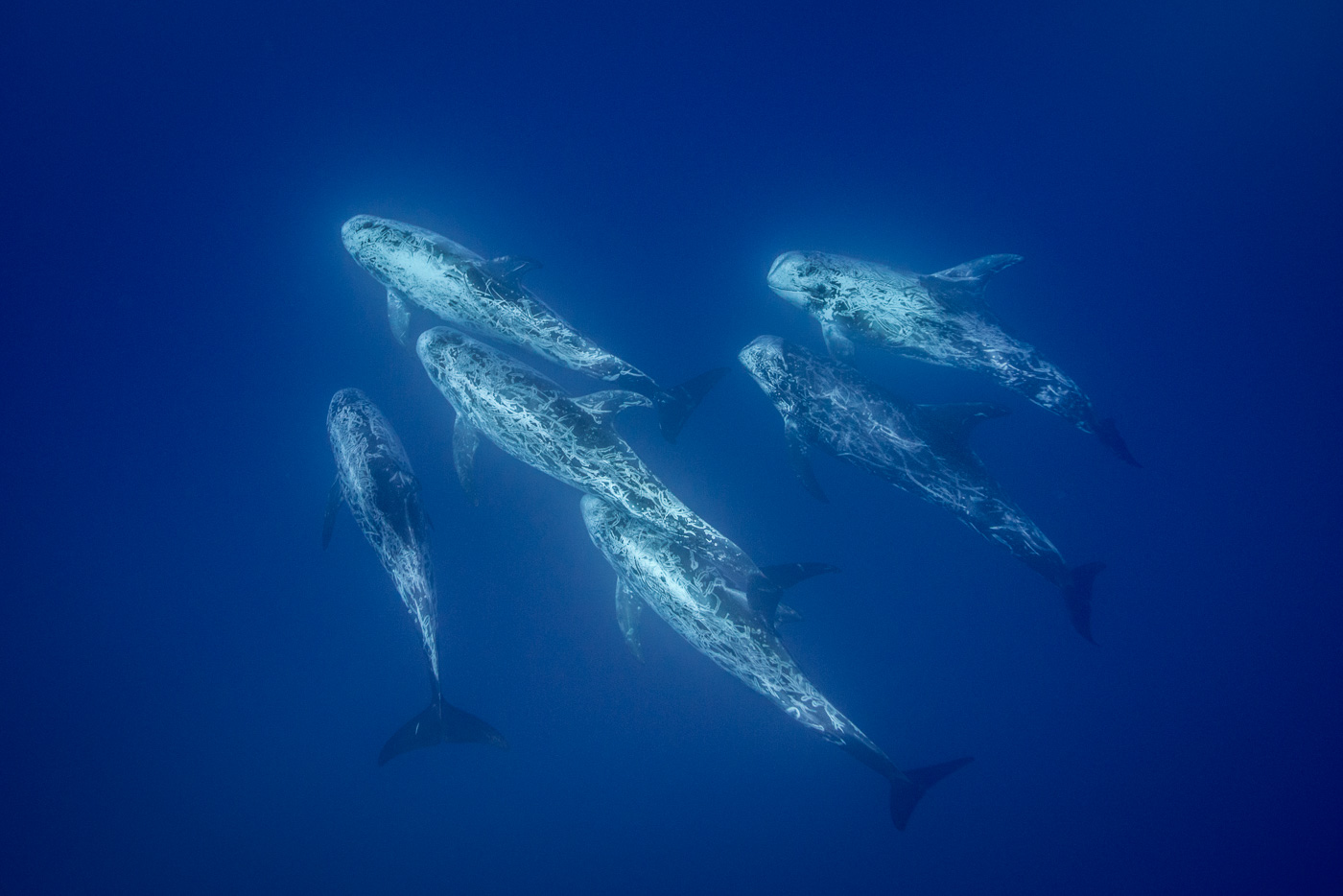 risso's dolphins azores underwater