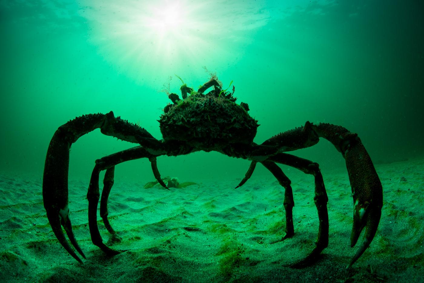 spider crab underwater ireland