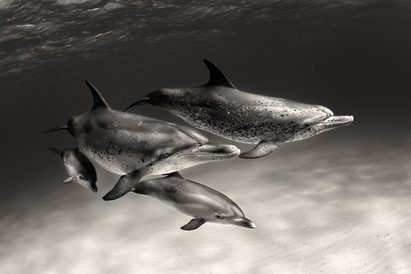 atlantic spotted dolphins family black and white
