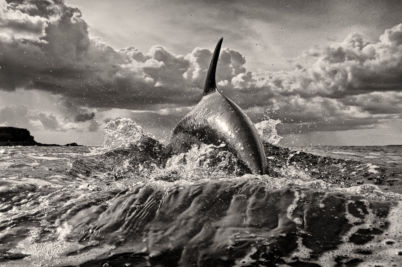 beautiful_dolphin photo black and white