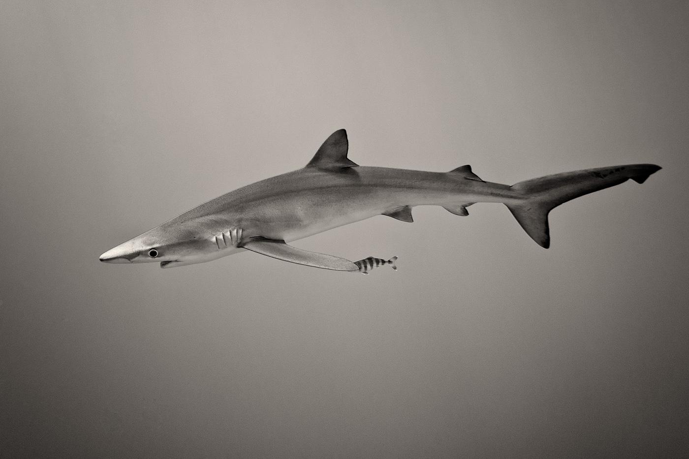 blue shark black and white