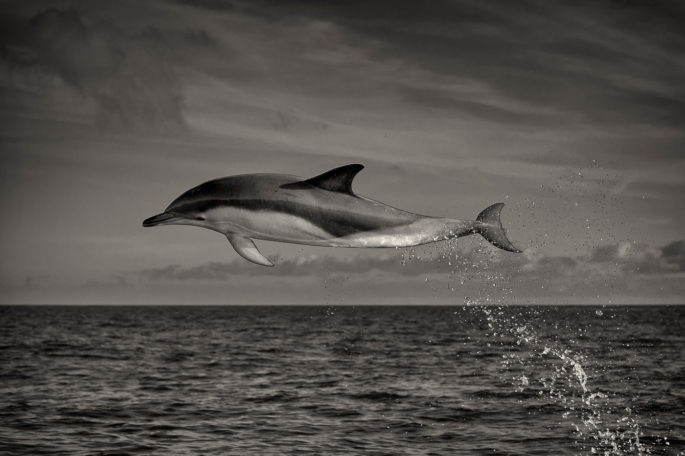common dolphin in air black and white
