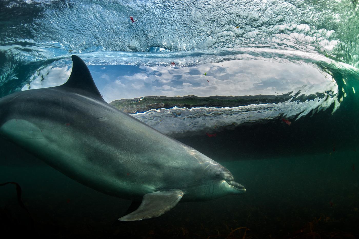 underwater photo picture of dolphin surfing wave ireland
