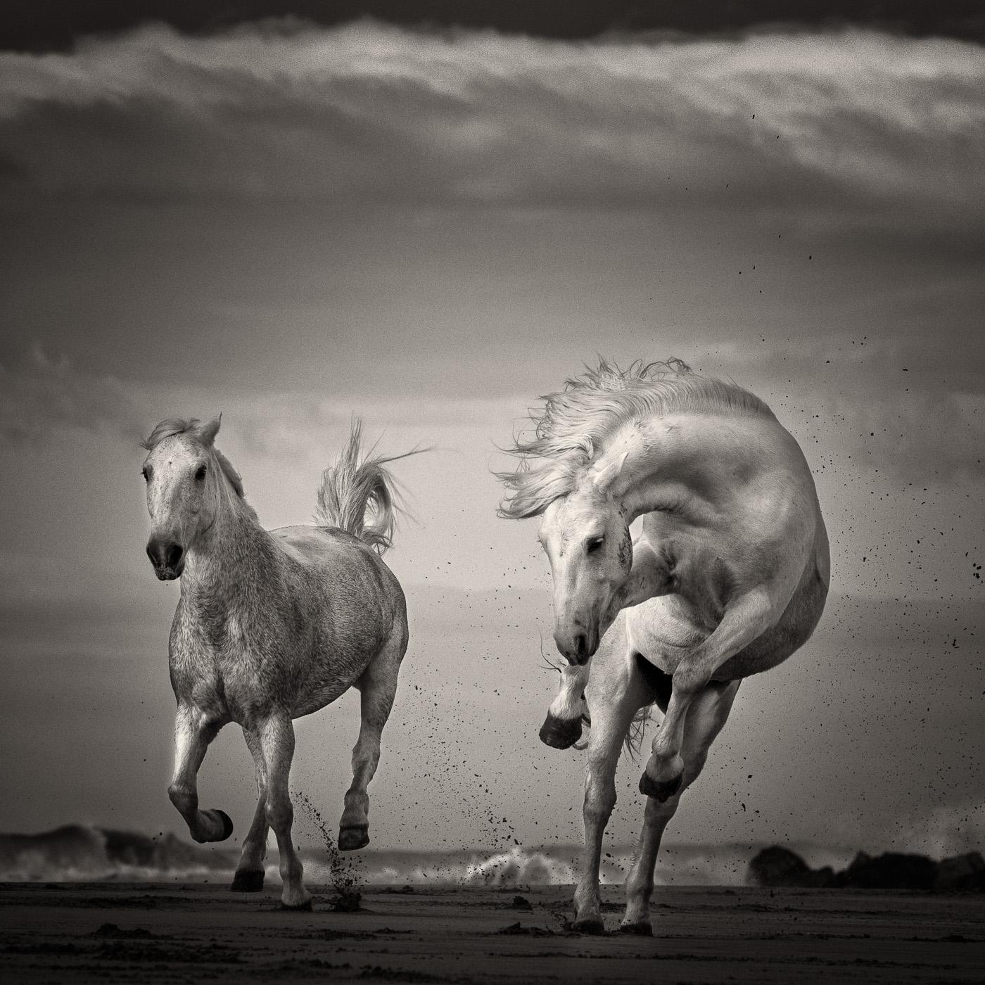 wild horse black and white