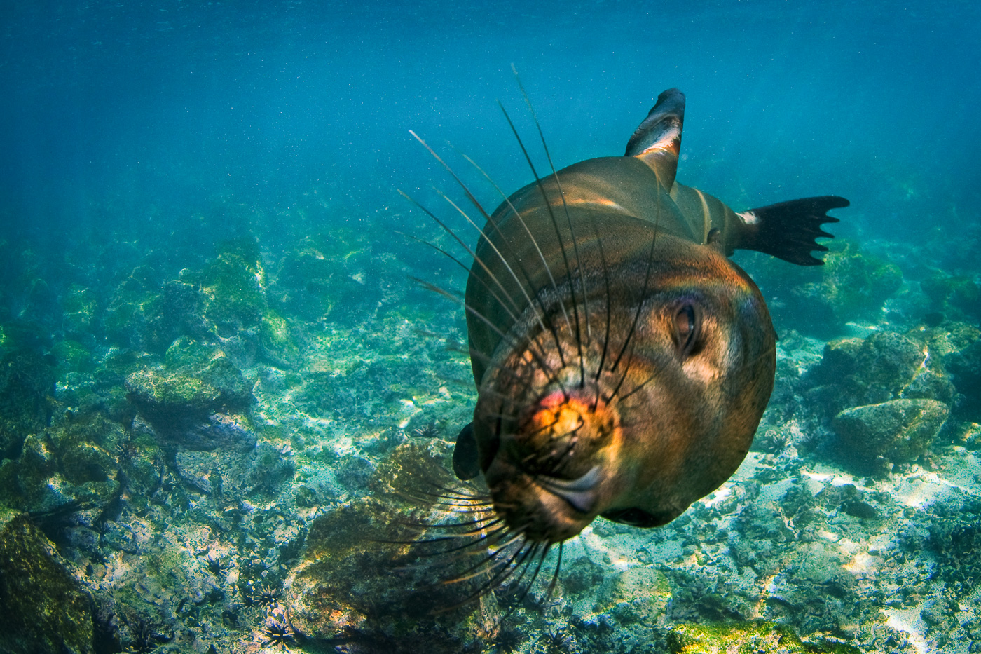sealion with rainbo on nose