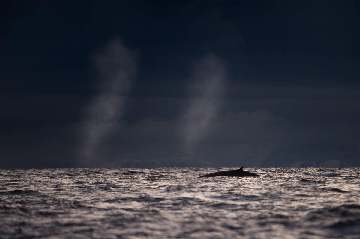 fin whale blows norway