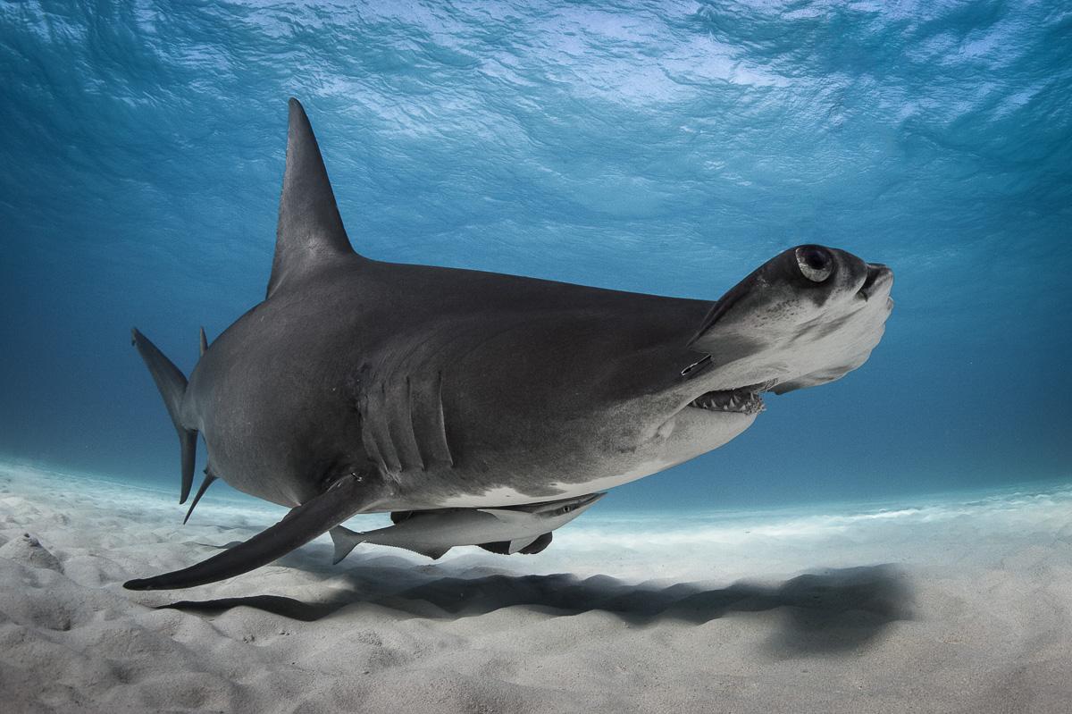 great hammerhead shark bahamas south bimini amazing underwater picture