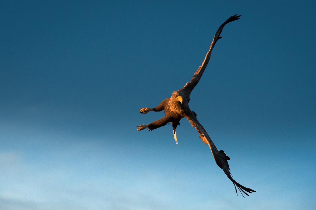 White Tail Eagle fly verticaly