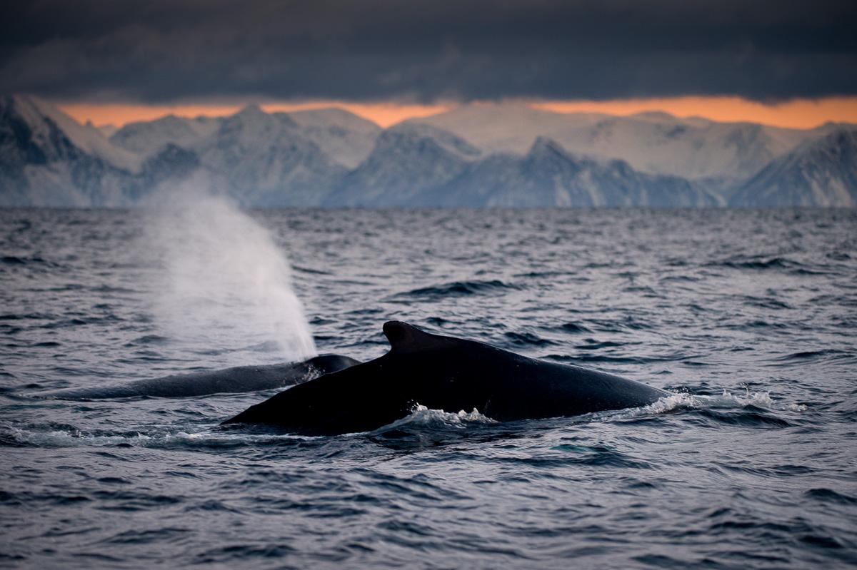 humpback_travel_arctic_norway_blow