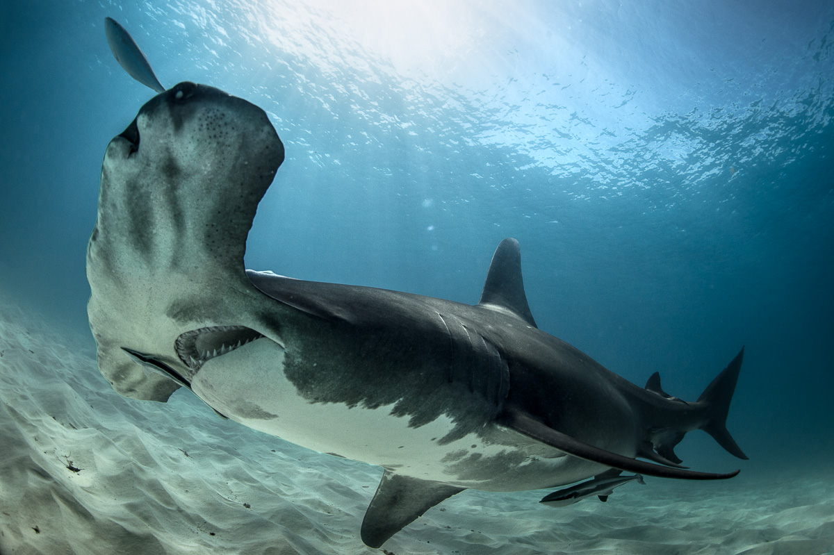 unique picture of hammerhead shark