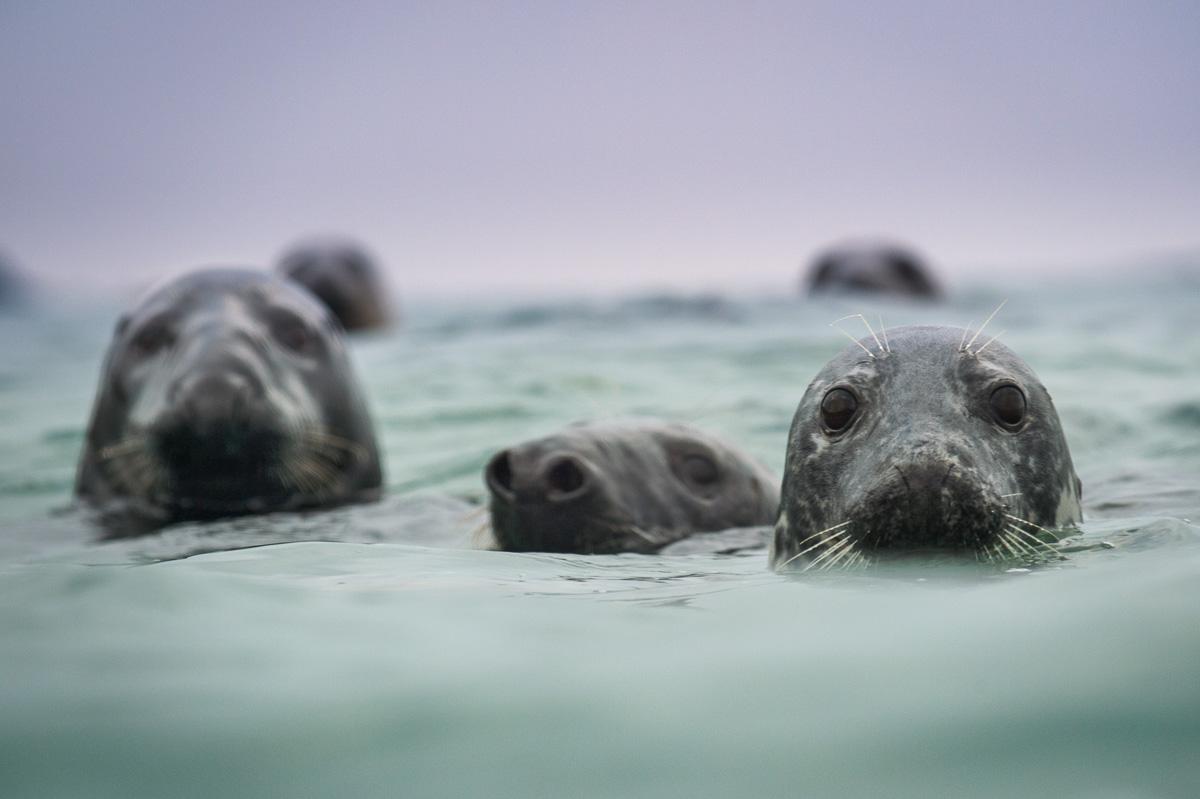 spy hopping grey seals