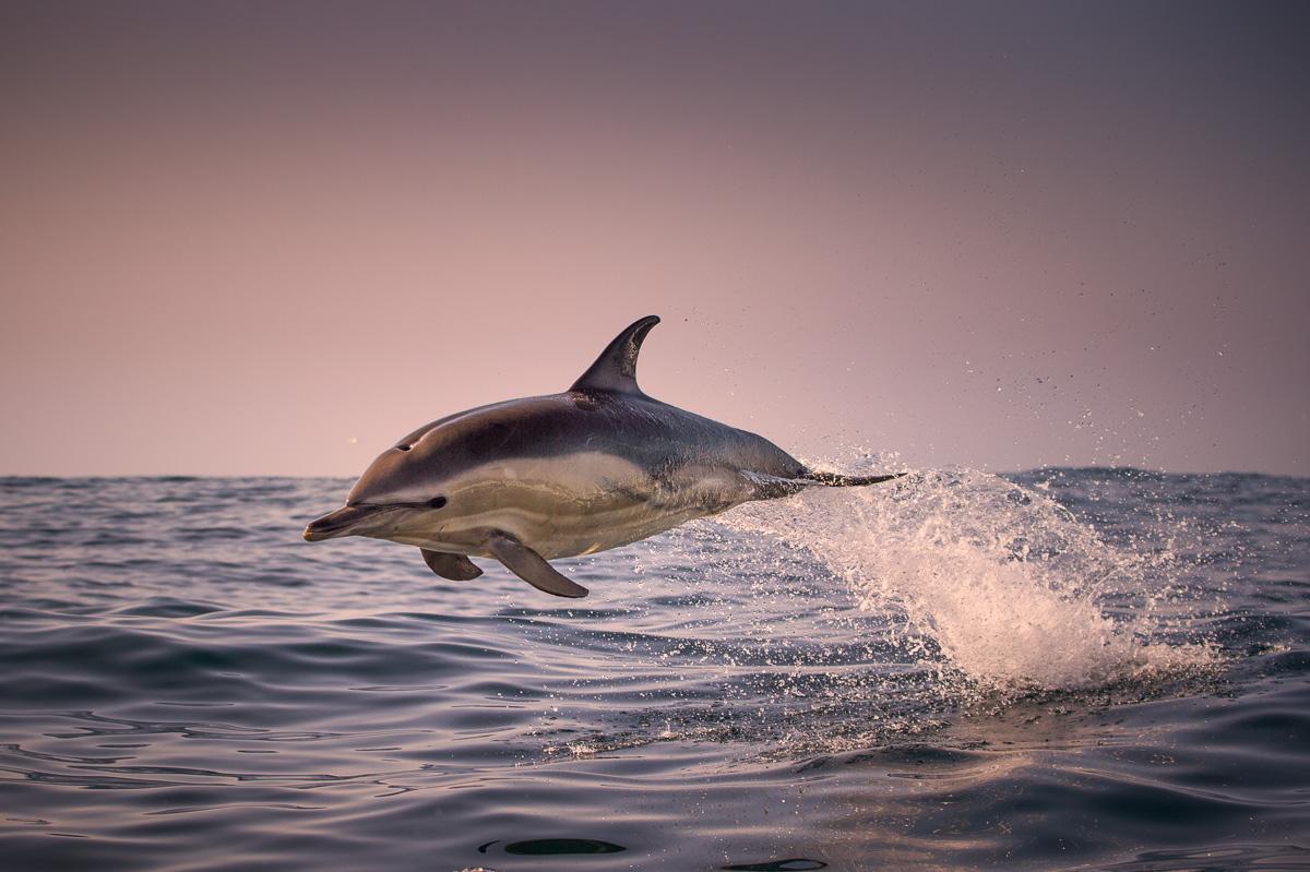 common dolphin jumping at sunset ireland