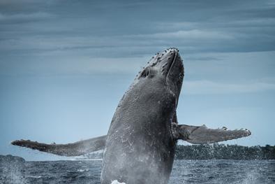 breaching humpback whale tonga