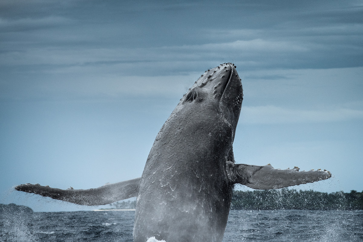 humpback whale in air fly breach