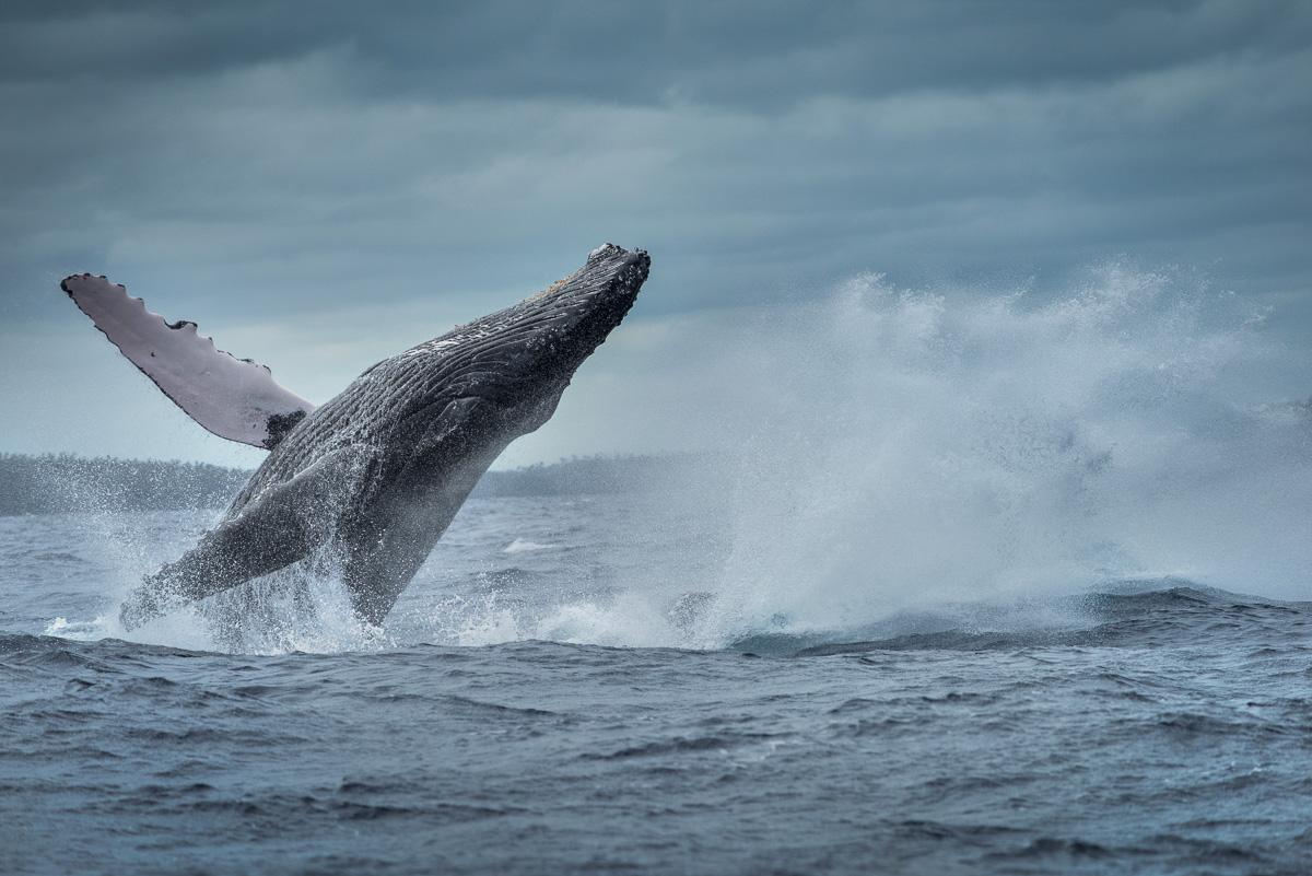 two humpback whale breach