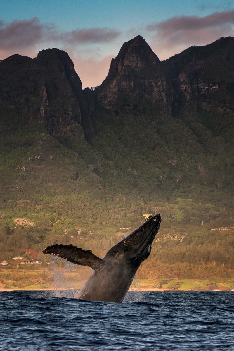 Humpback Whale breach Kauai