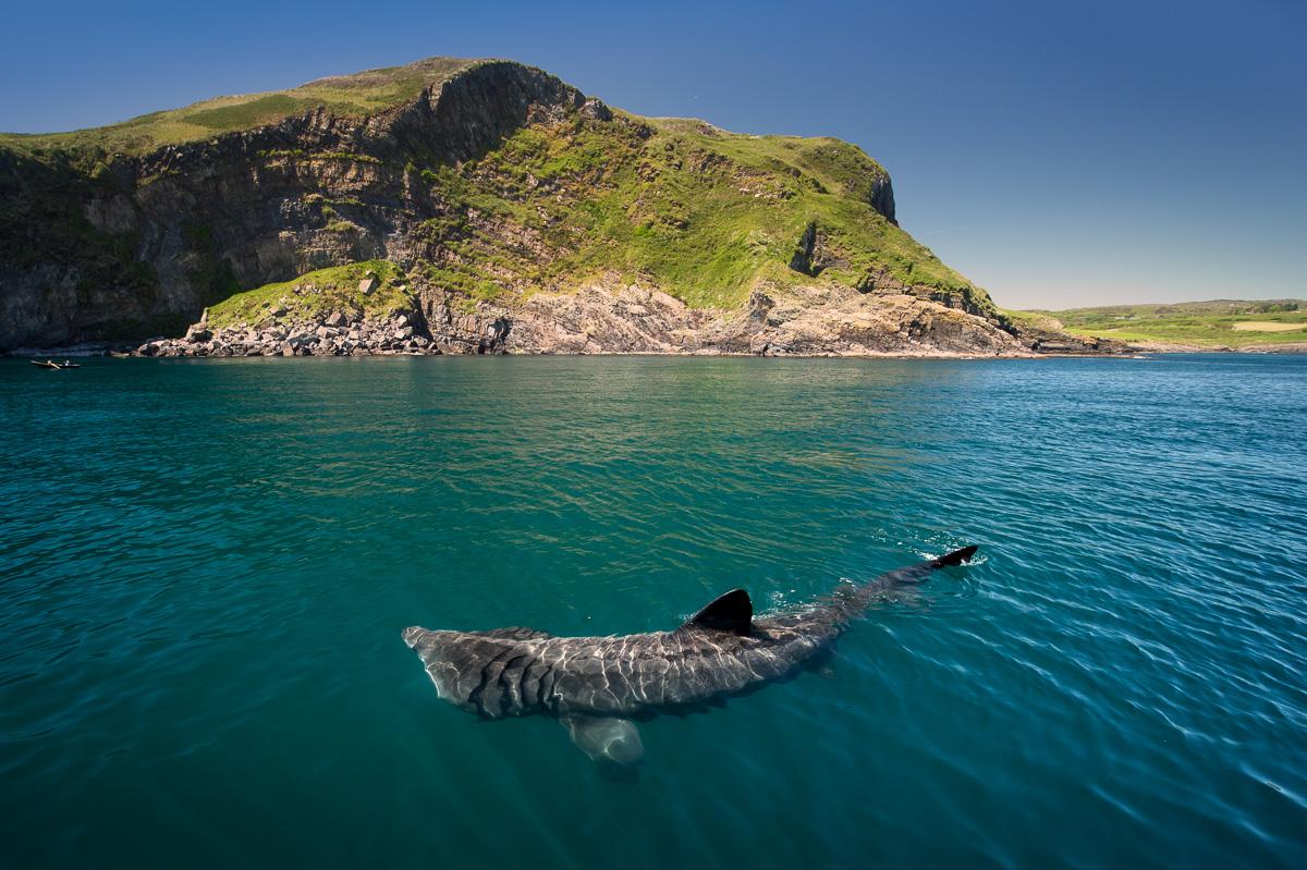 basking shark giant