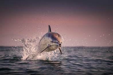 jumping wild common dolphin sunset