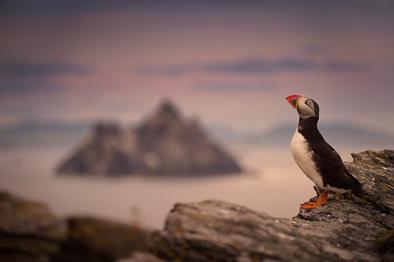 amazing Skellig Michael rock puffin photo