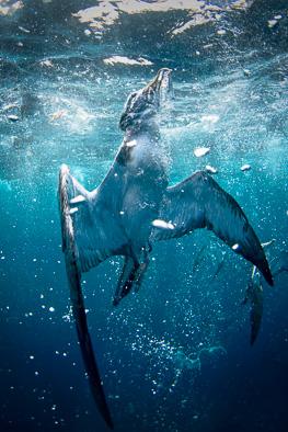 Corry's Shearwater underwater fly swim