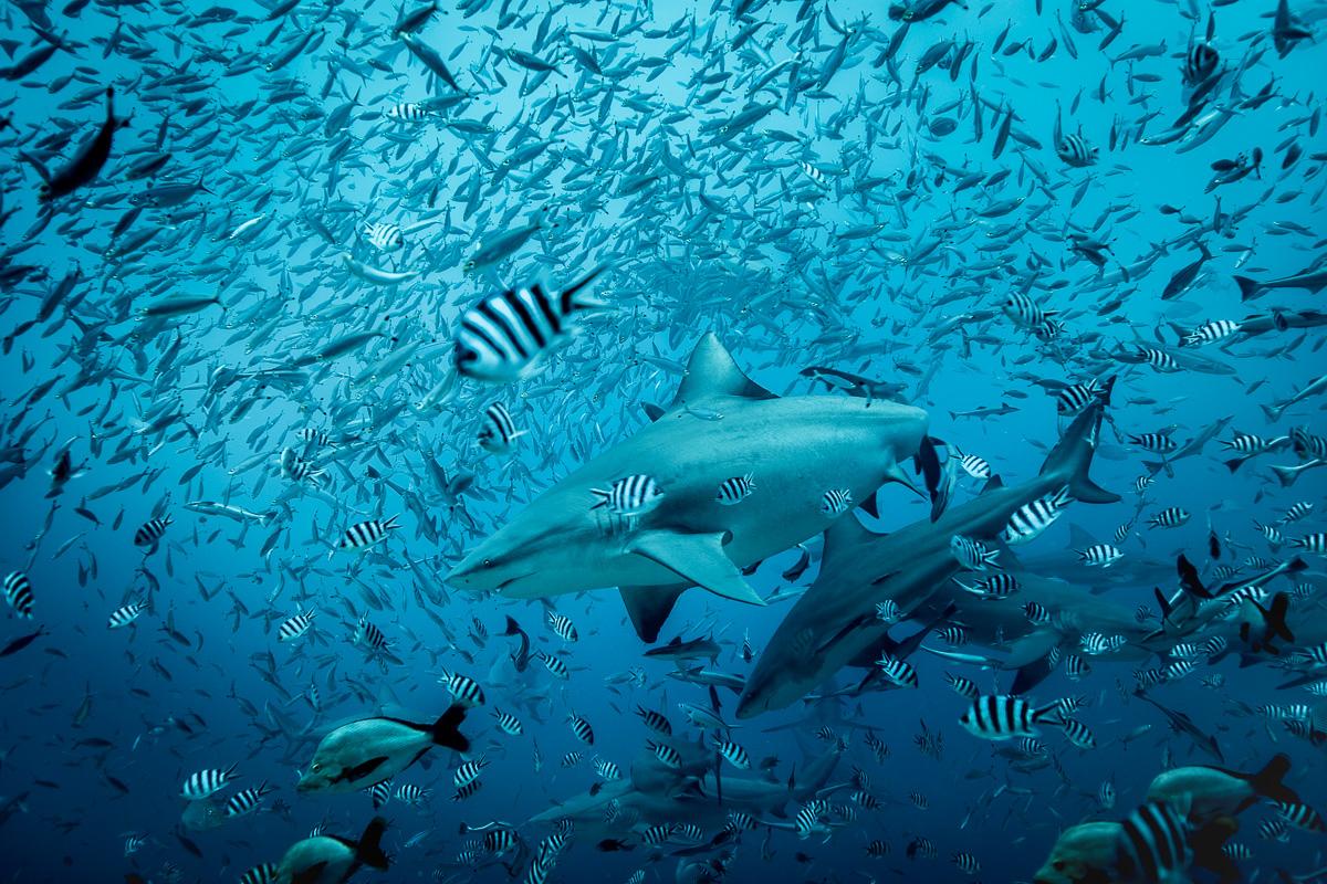 great_bull_shark_photos