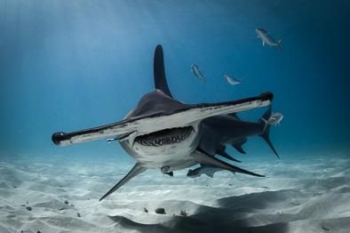 great hammerhead shark face bahamas