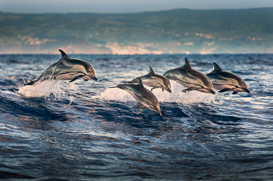 group of striped dolphin leaping jump Azores