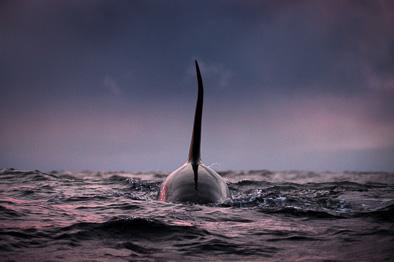 male killer whale orca dorsal fin sunset arctic