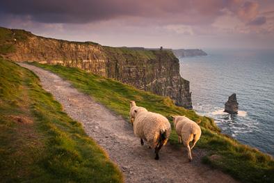 sheep cliffs of moher ireland photo