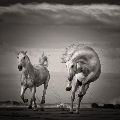 wild white horses black and white print