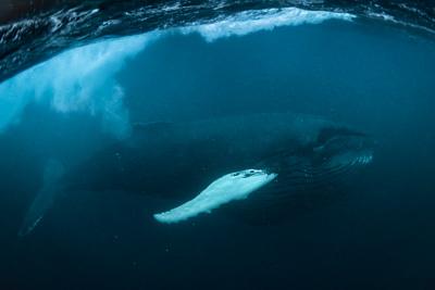 atlantic_humpback_whale_feeding_herring_arctic_norway_underwater