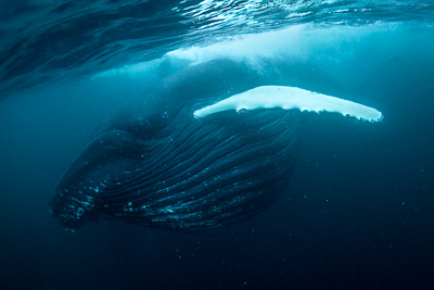 humpback whale feed full mounth norway atlantic herring