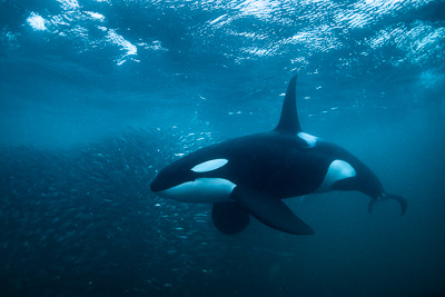 male_orca_with_bait_ball_dark_water