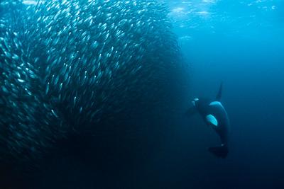 orca_making_bait_ball_hunting