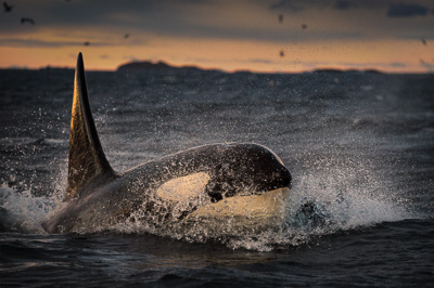 surfacing_orca_in_low_light