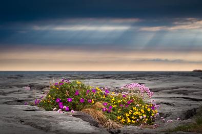 burren_flora_flowers