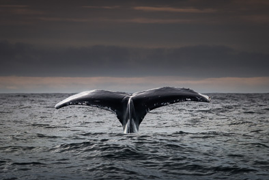 humpback whale diving blasket island kerry ireland